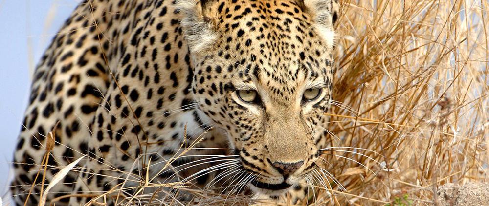 journeys-home-cheetah.jpg