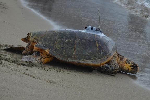 Four-Seasons-Preferred-Partner-Nevis- turtles.jpeg