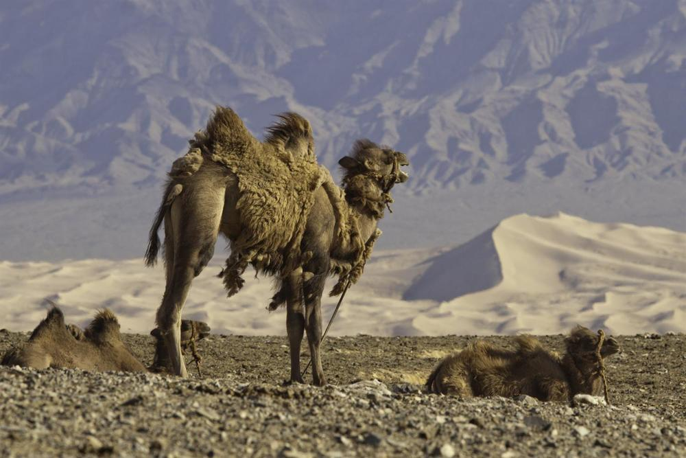 Camel travel in Mongolia