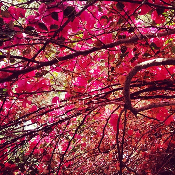 Canopy of bougainvillea