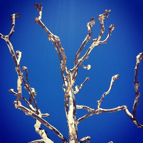 Amazing sculptural bare tree against an azure sky