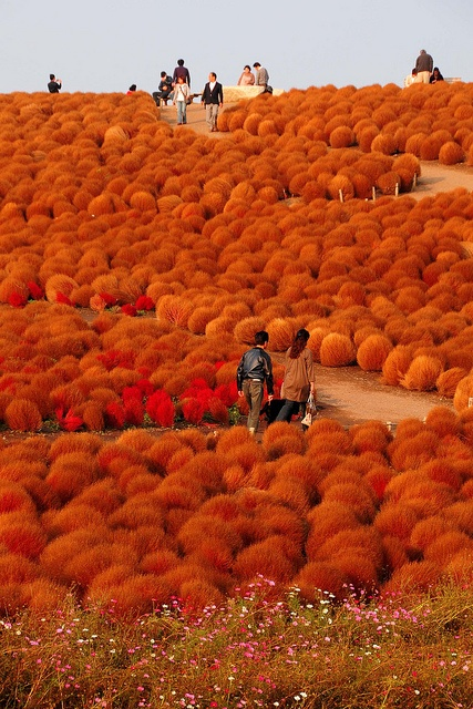 Hitachi Seaside Park, Ibaraki via Pinterest