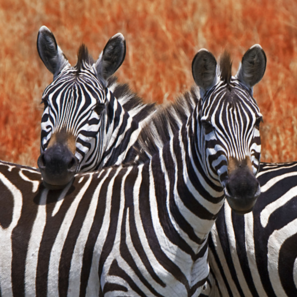 Zebra Symetry_5.5x5.5.jpg