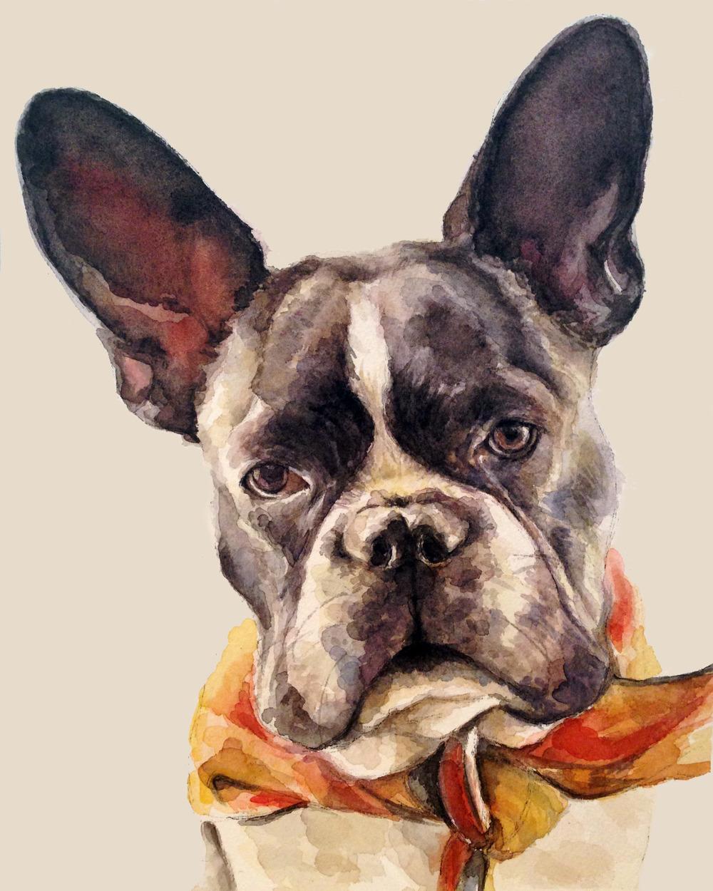Gus the French bulldog