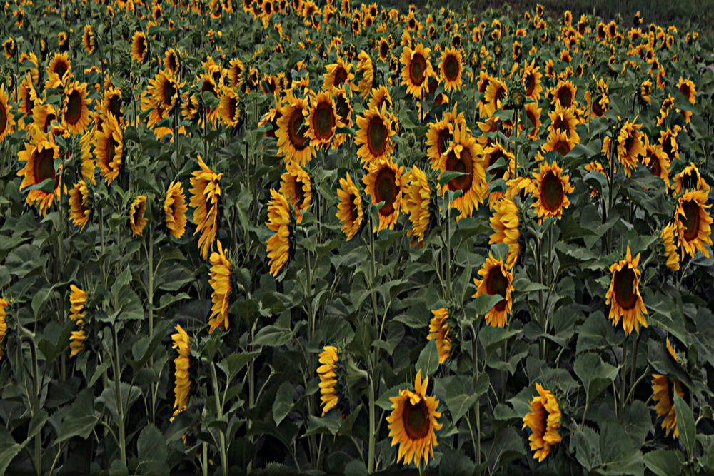 sunflowers[1].jpg