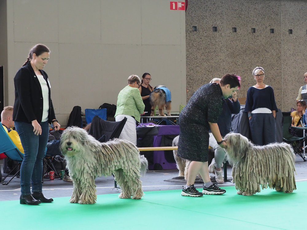 Dr. Pepper Warmswag Bergamasco:  Benelux Show - res. CAC; Specialties Show - CAC, BOS;  Skarviks Rubin  - WDS CACIB, CAC, BOS