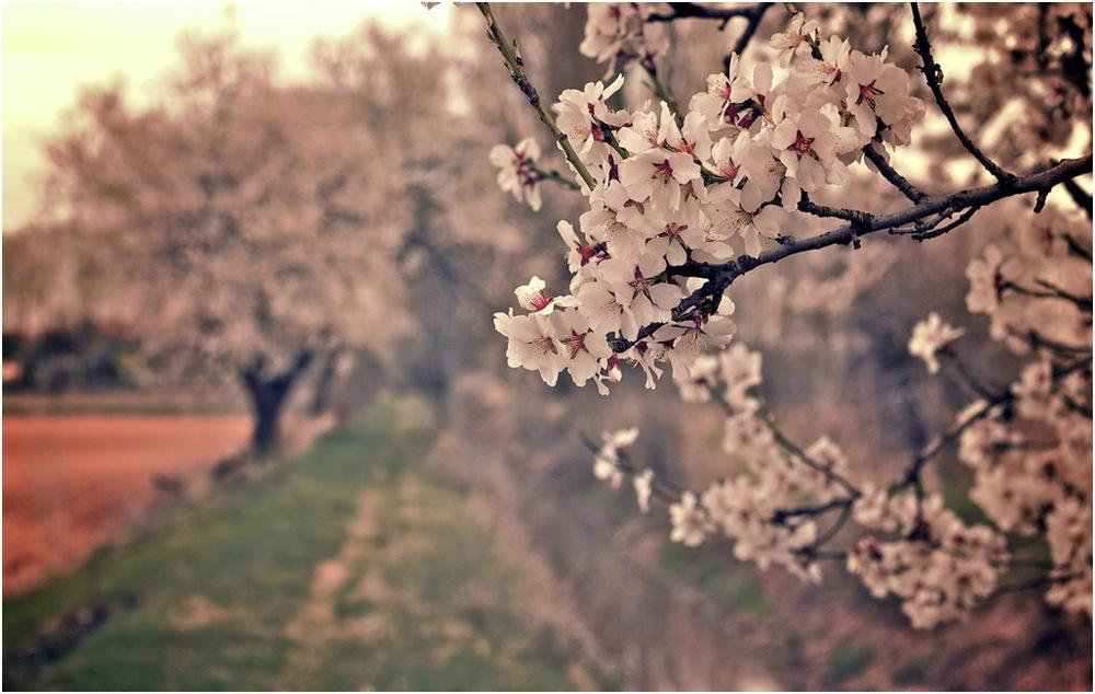 almendros en flor.jpg