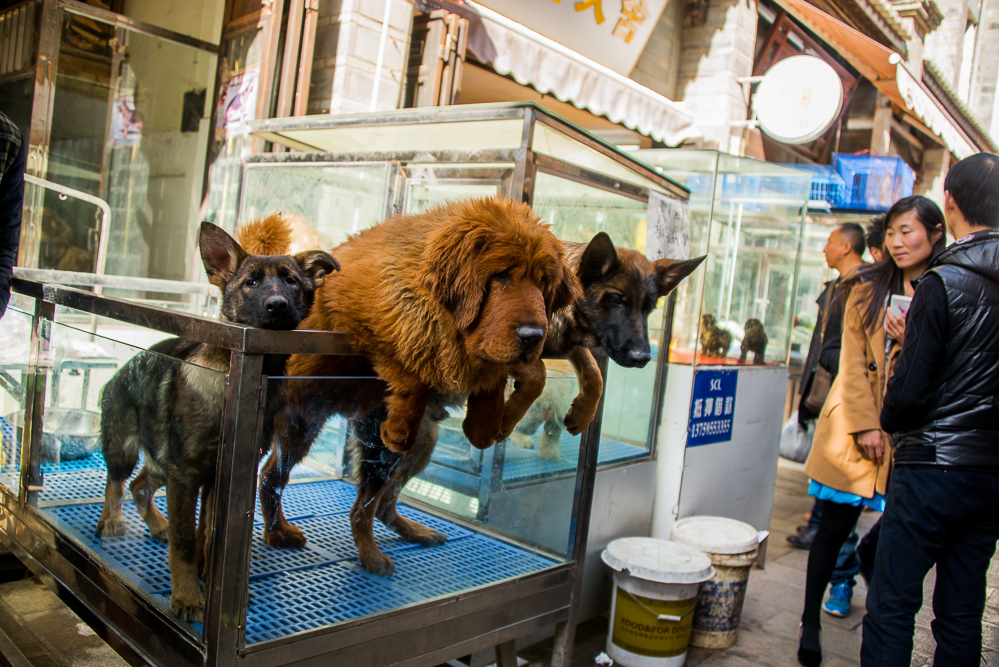 These dogs were hanging out in Kunming, waiting to be sold (there are less restrictions on big dogs in this part of China)