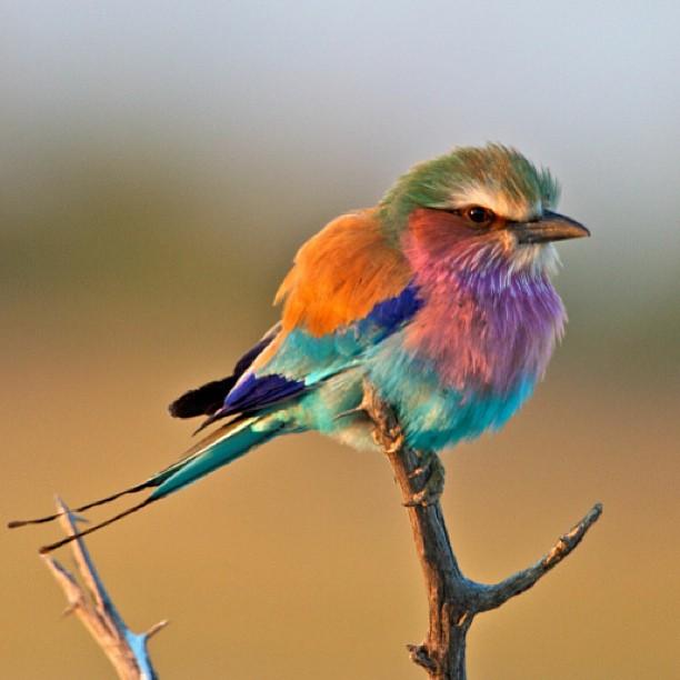 The Lilac-Breasted Roller Bird via @velvetdustmag