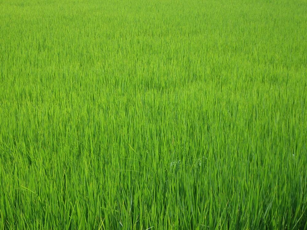 crisp green rice paddies // hoi an, vietnam