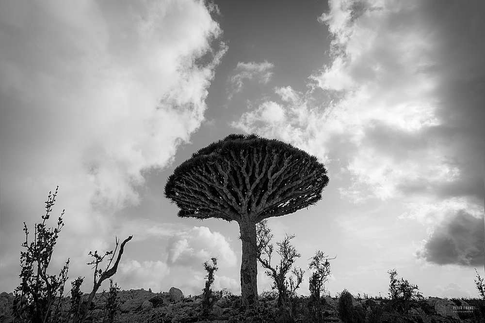 Dragonsblood Tree, 2010 © Peter Franc