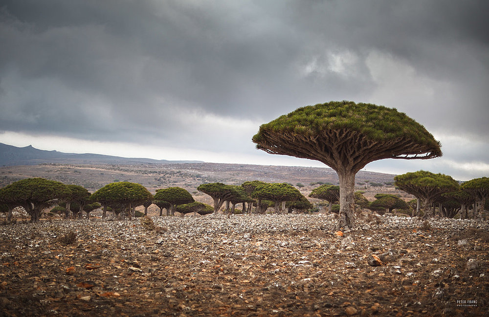 Socotra Island. Dragonsblood Trees, 2010 © Peter Franc