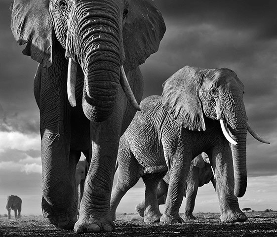 Elephants, Amboseli, Kenya © 2013 David Yarrow Photography