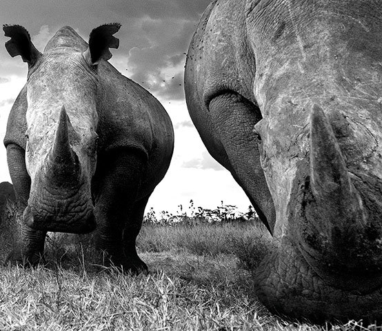 Namibia's Larges Rhinos © 2013 David Yarrow Photography