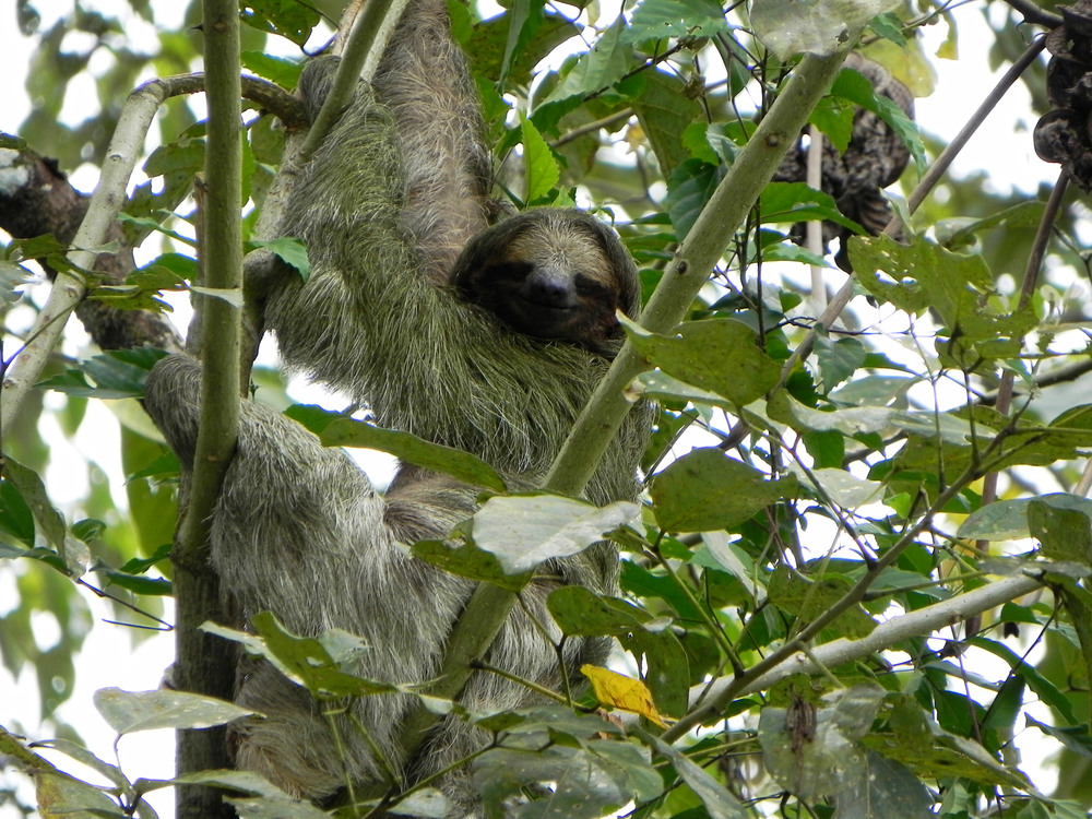 Three Toed Sloth, Costa Rica ©Ty Govaars