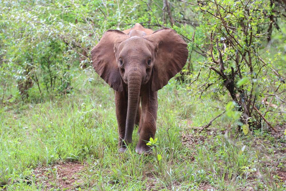 Naseku is a friendly and extremely polite infant elephant - no pushing or bullying from this little lady! Photo via DSWT.