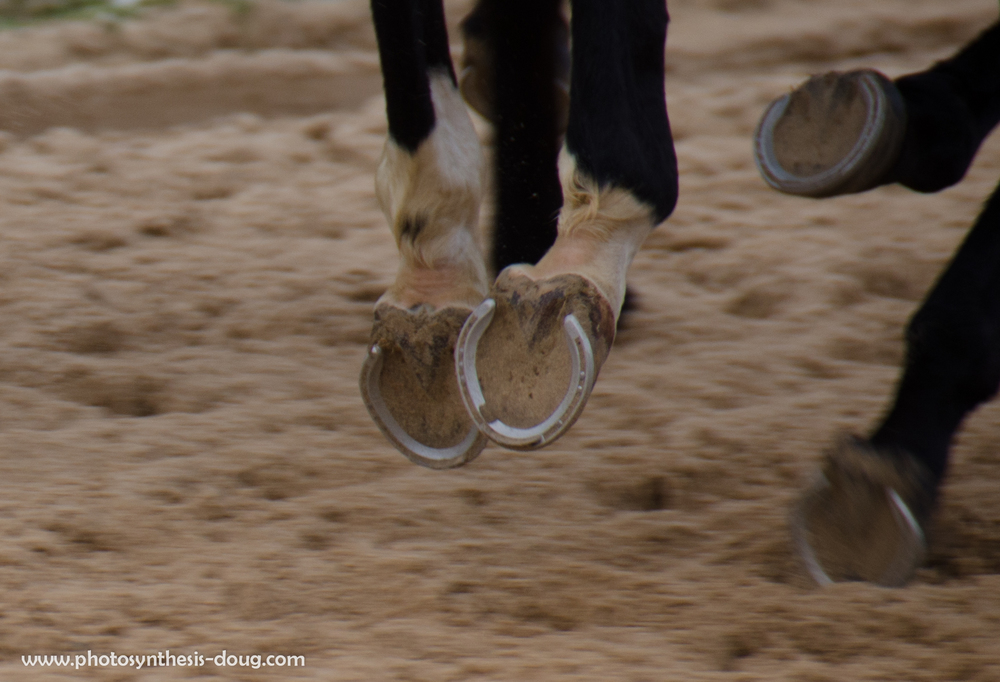 Horses running, Merryland Farm, MD, 2013