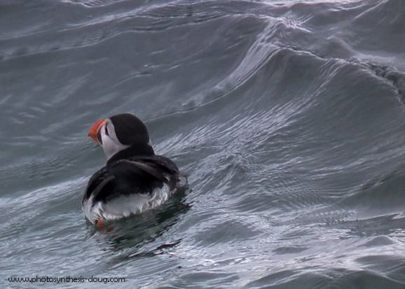 puffin in Firth of Forth-2010.jpg