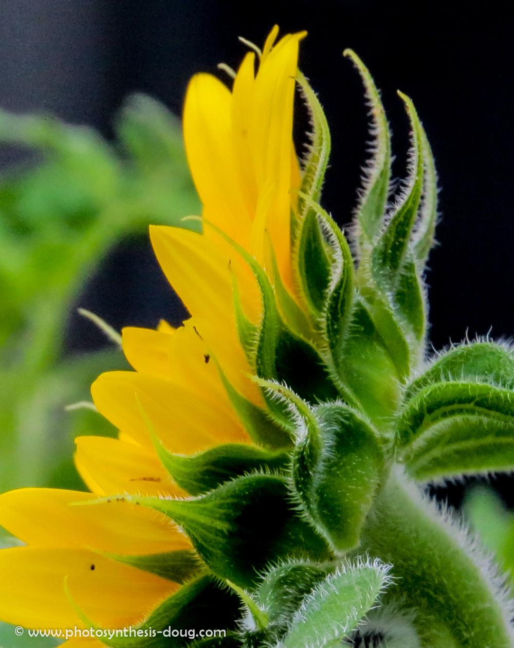 sunflower-1784.jpg