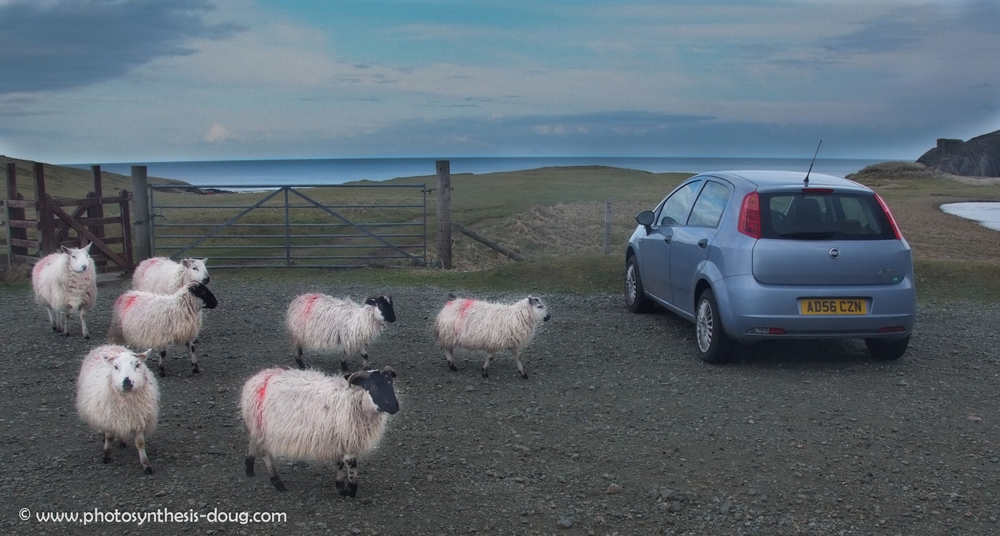 sheep and rental car-2693.jpg