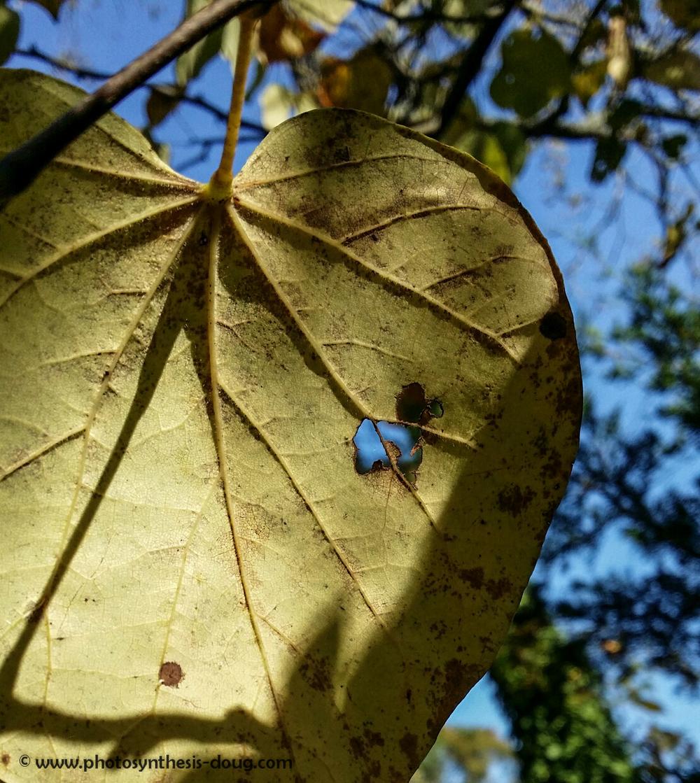 hr-leaf-.jpg