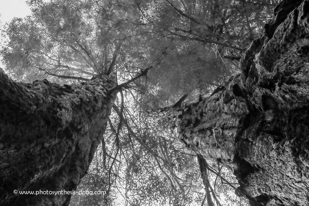 Redwoods-8853.jpg