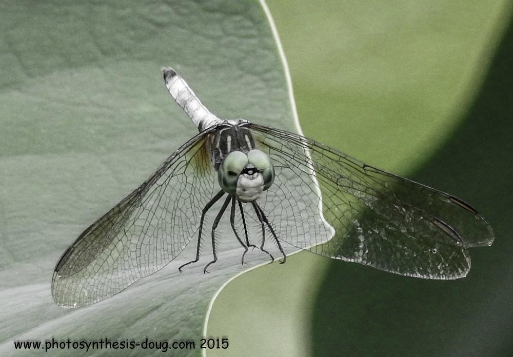 Dragonfly, Aquatic Gardens