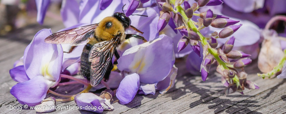 bee in wisteria-1040498.JPG