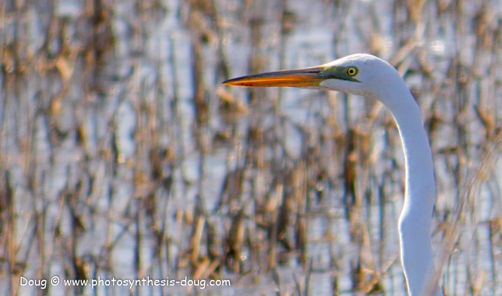 Bombay Hook birds-1030060.JPG