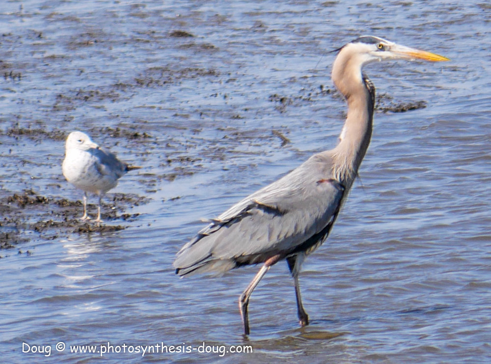 Bombay Hook birds-1030102.JPG