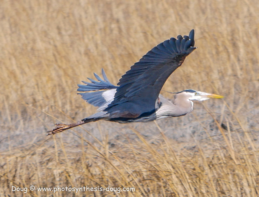 Bombay Hook birds-1030213.JPG
