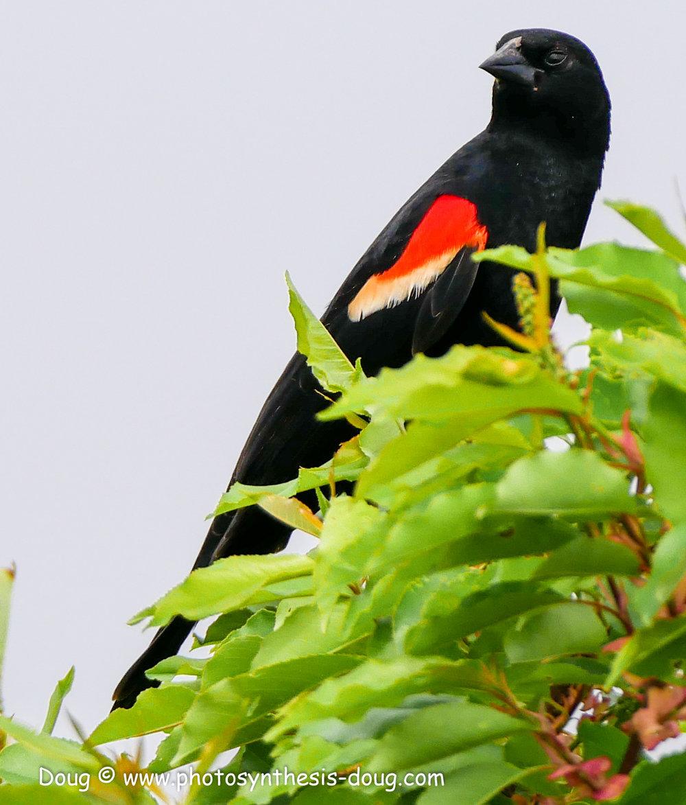 Bombay Hook birds-1050041.JPG