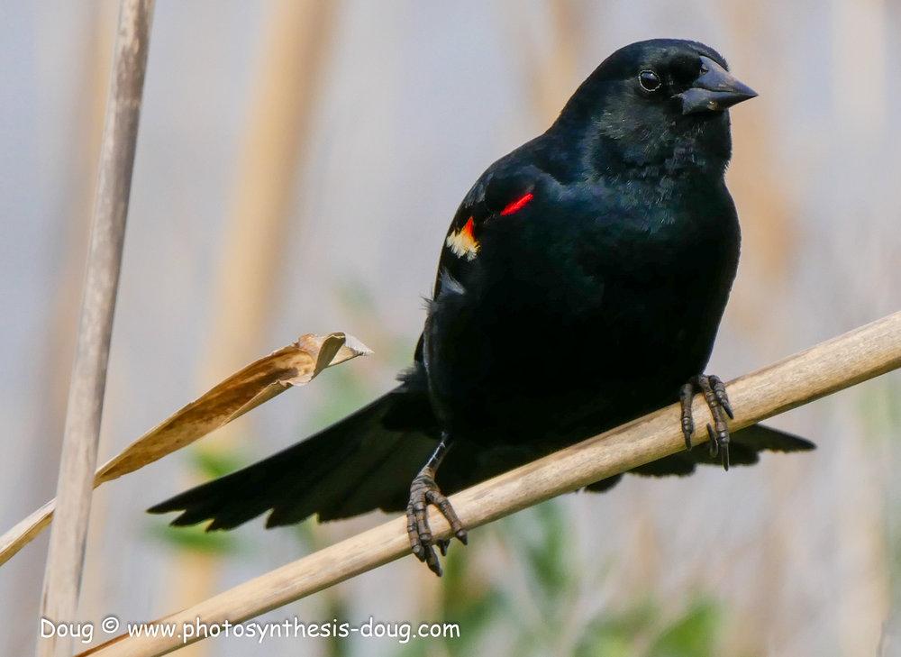 Bombay Hook birds-1050083.JPG