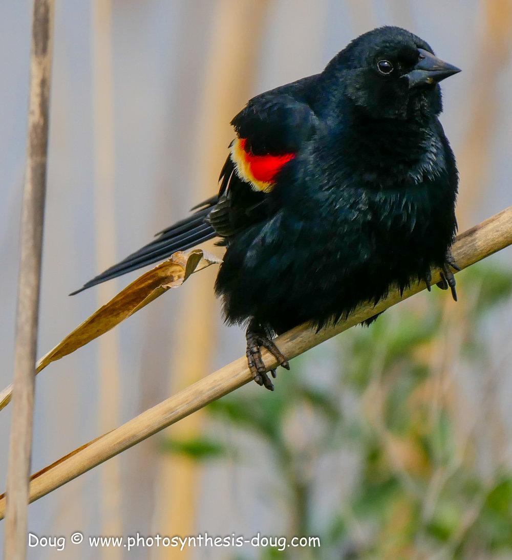 Bombay Hook birds-1050076.JPG