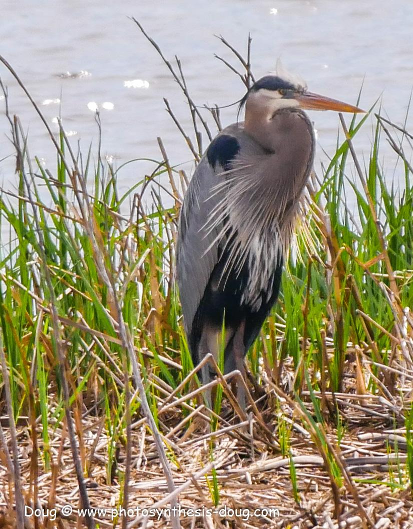 Bombay Hook birds-1050099.JPG