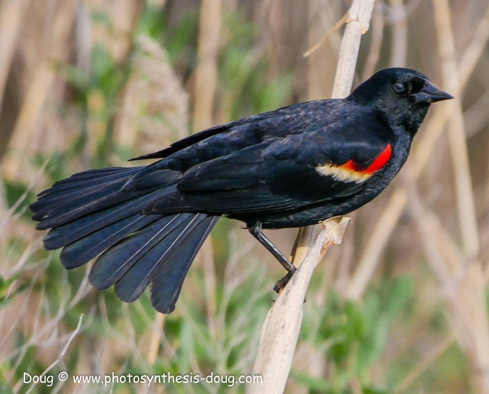 Bombay Hook birds-1050087.JPG