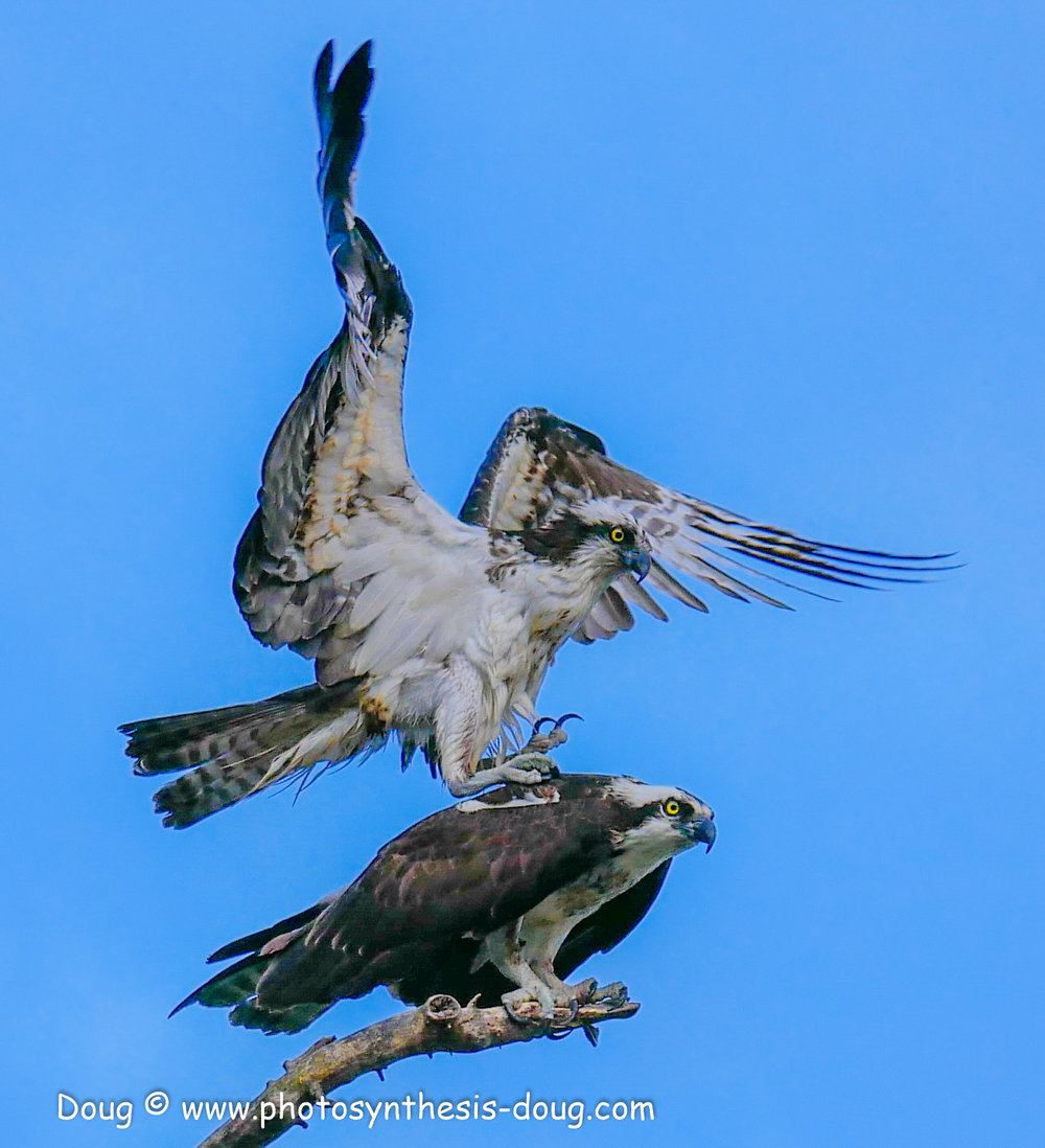 2 osprey pair-1040255.JPG