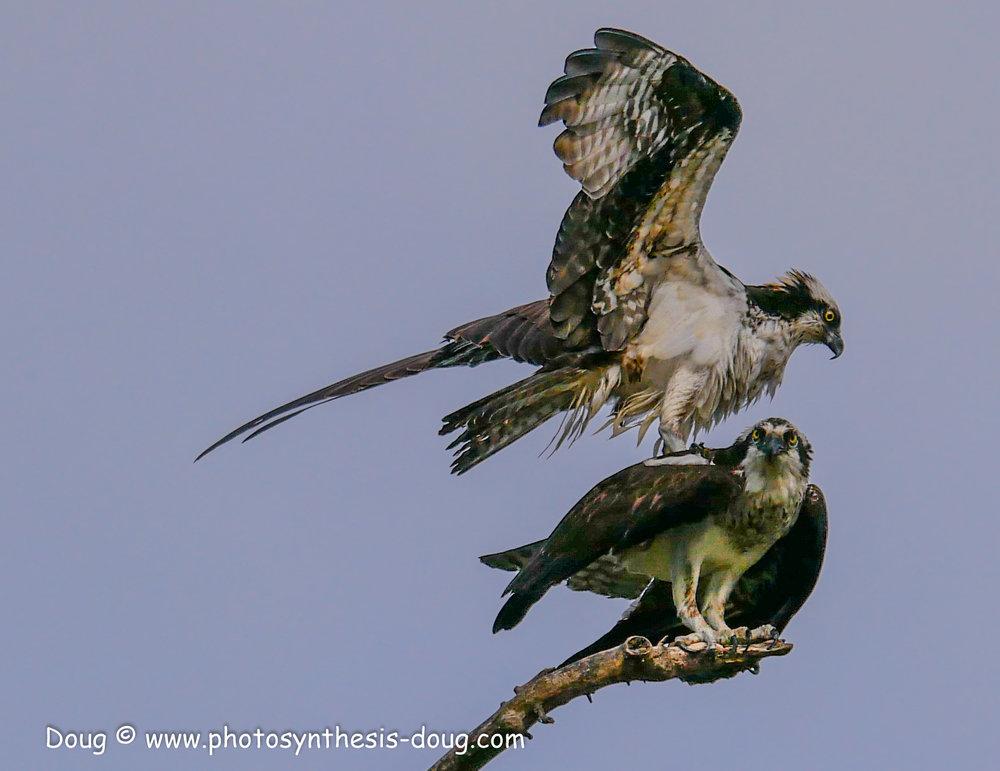 3 osprey pair-1040325.JPG
