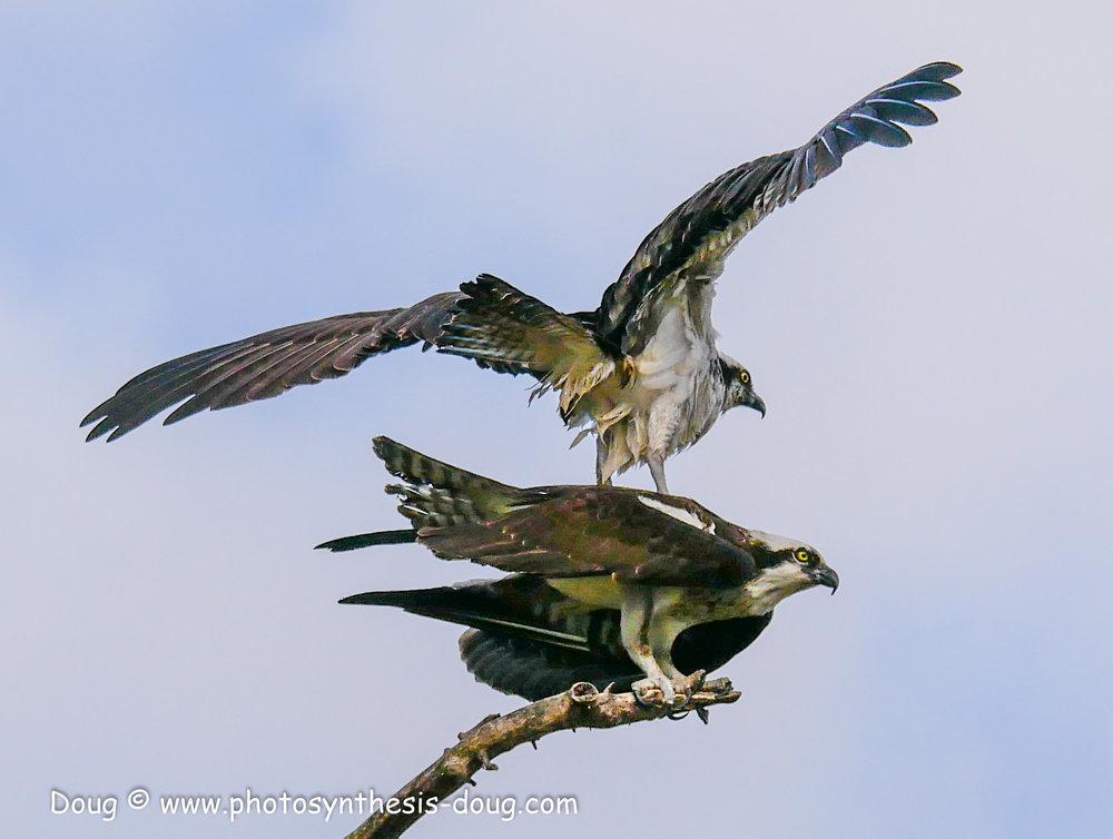 3 osprey pair-1040305.JPG