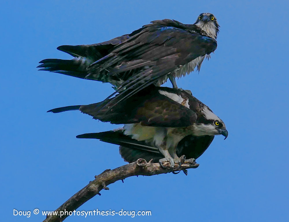 4 osprey pair-1040281.JPG