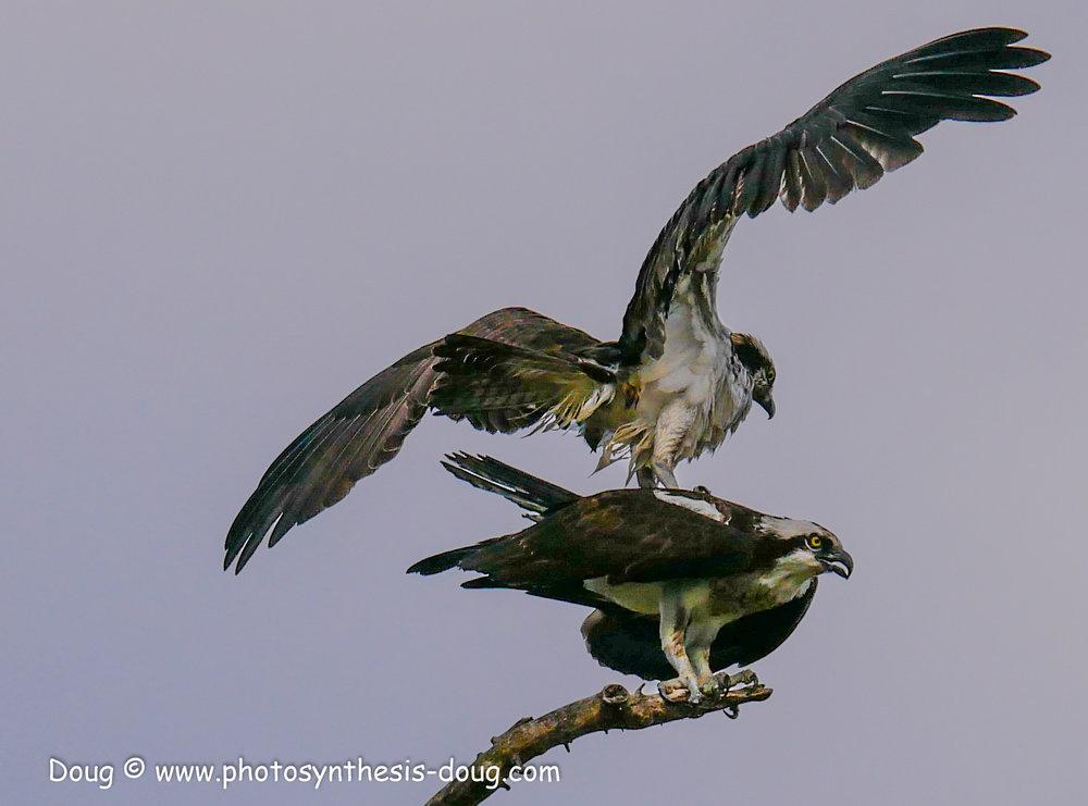 5 osprey pair-1040330.JPG