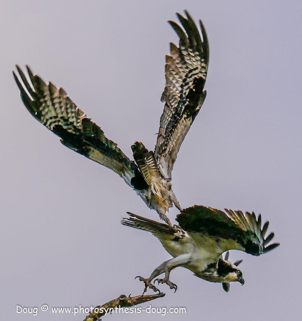 5 osprey pair-1040334.JPG