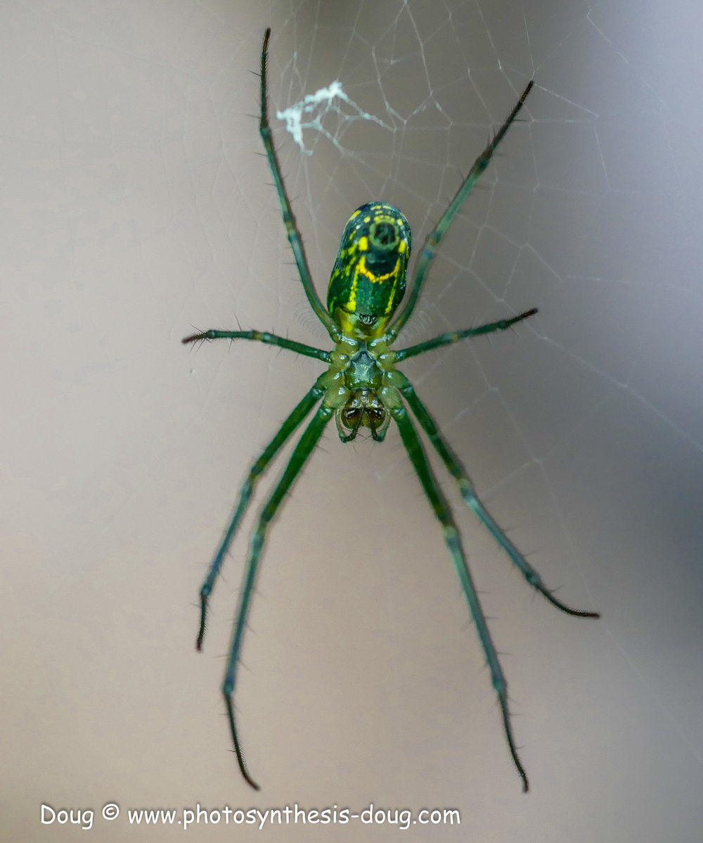 garden spider-1050942.JPG