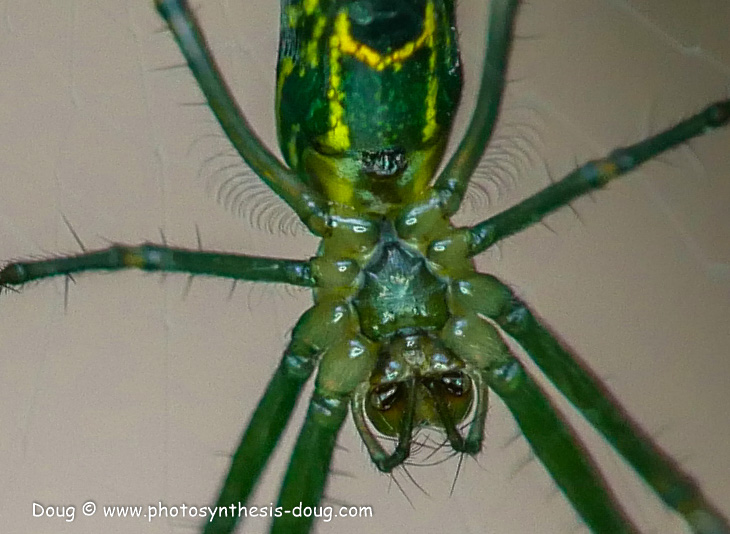 garden spider-1050946.JPG