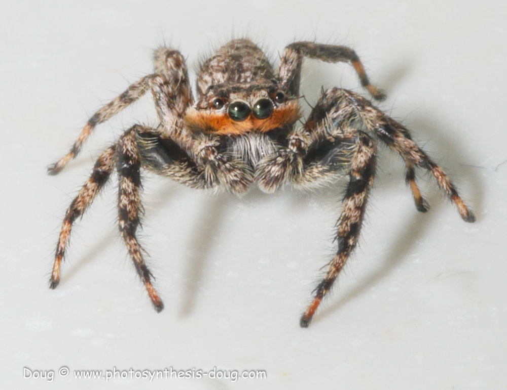 jumping spider-1080343.JPG