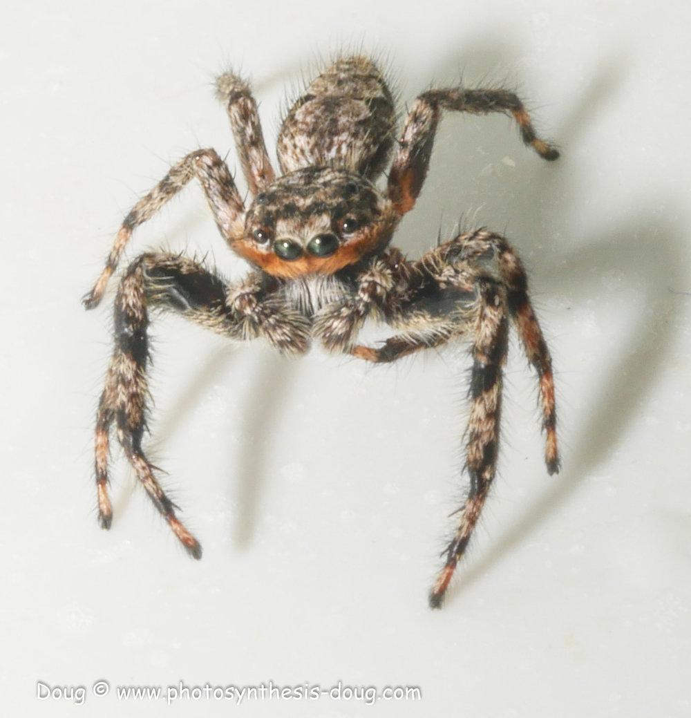 jumping spider-1080353.JPG