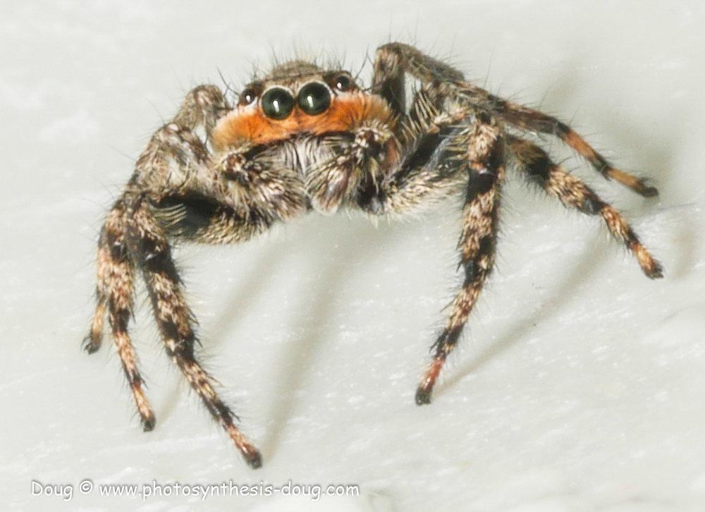 jumping spider-1080360.JPG