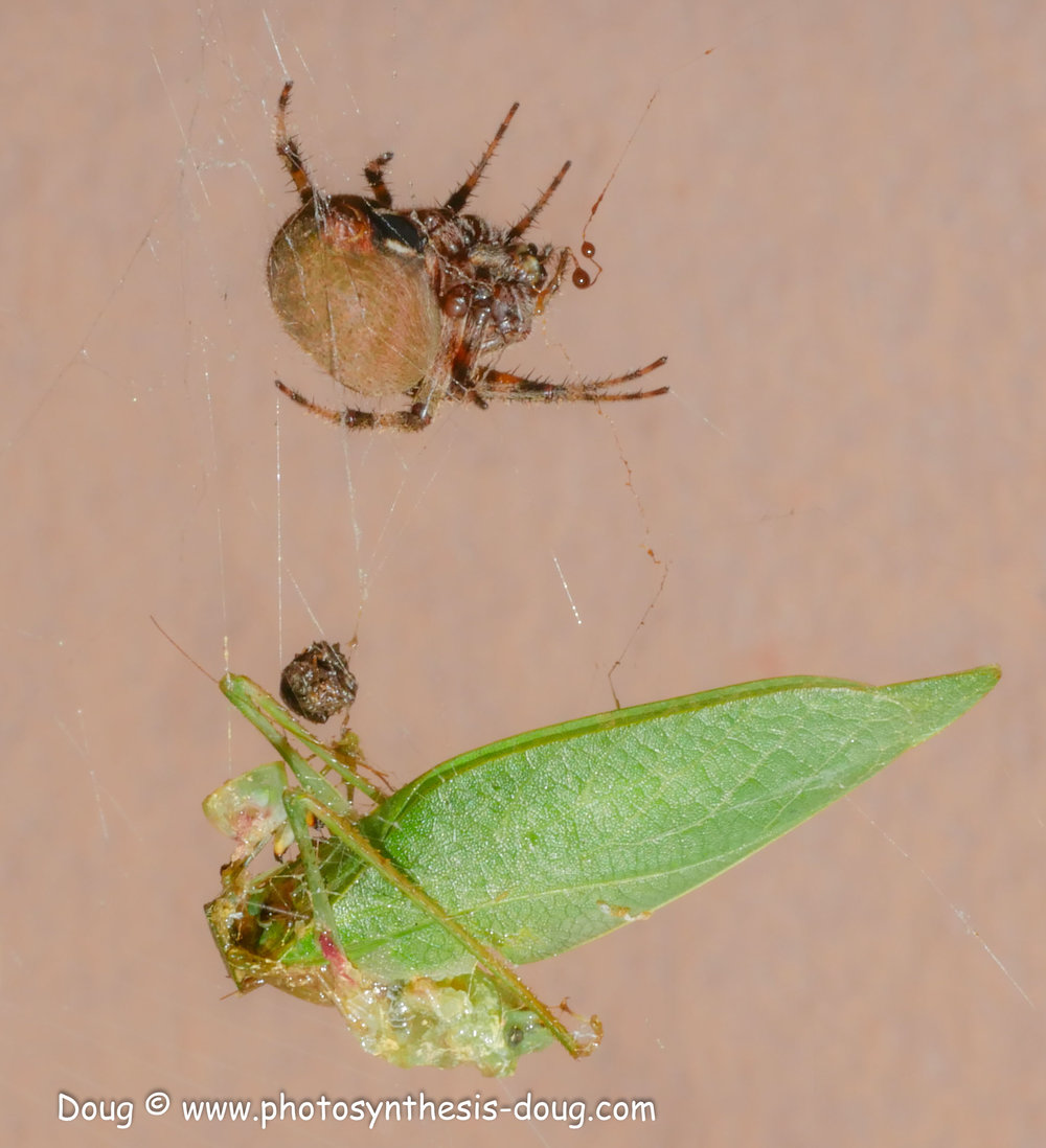 spider with prey-1070949.JPG