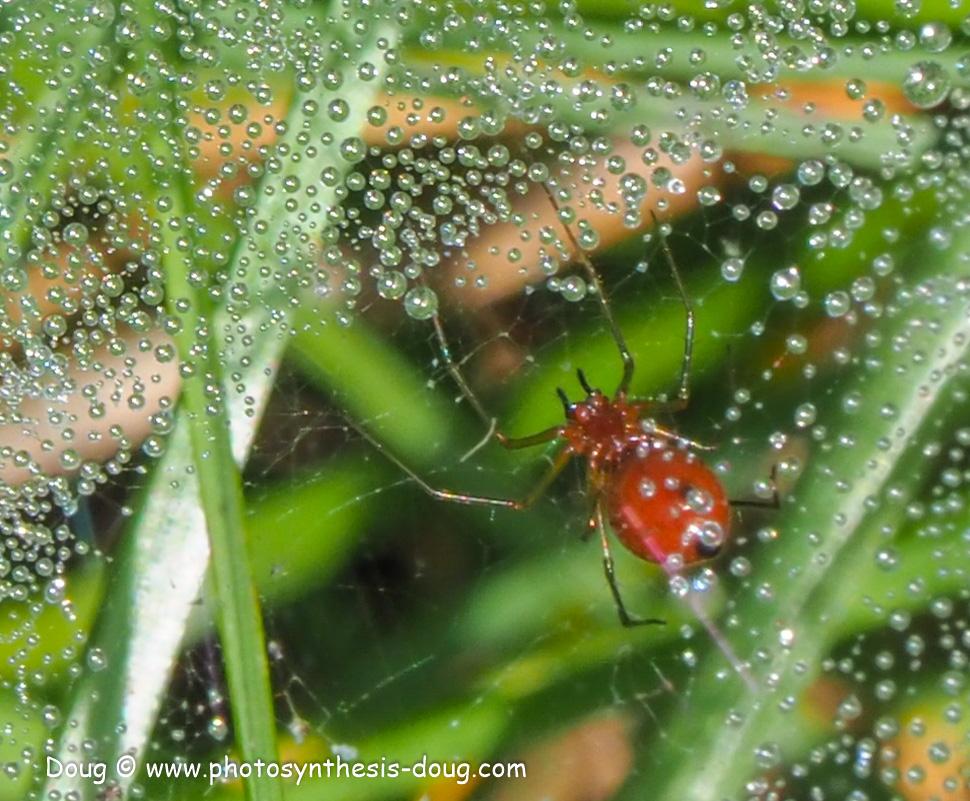 spider - red-041164.JPG