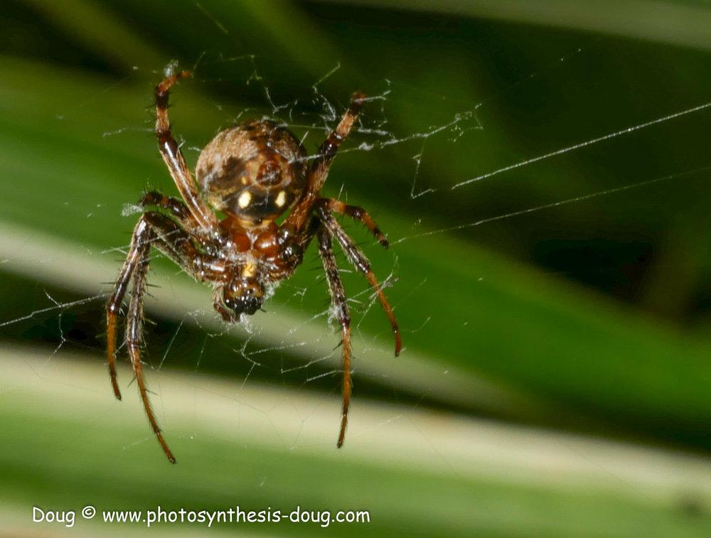 spider orb weaver-1080576.JPG